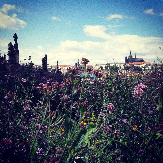 Prague - Wildflowers