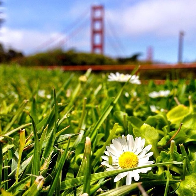 daisy in a field with golden gate bridge in the background