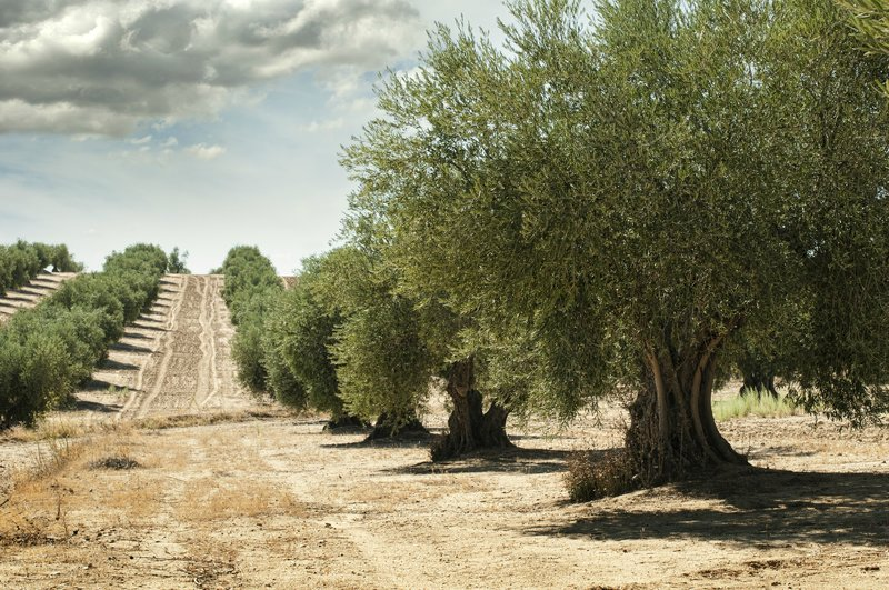 rows of olive trees