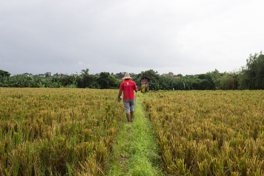 tour guide in a field in Bali