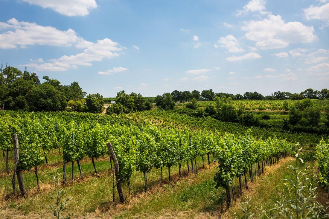 Vineyards of Vienna